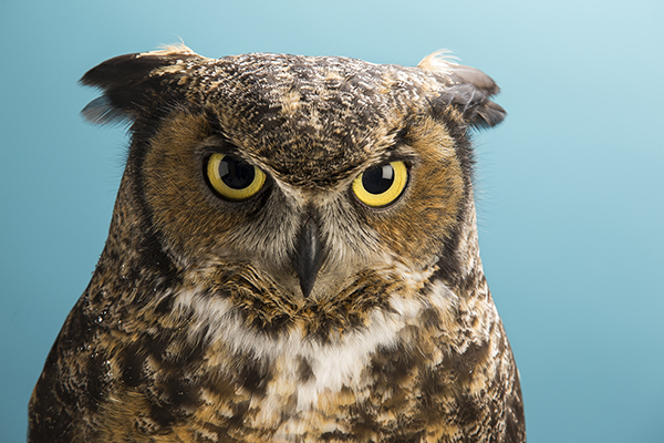 Stella, the live owl that serves as Temple's mascot.
